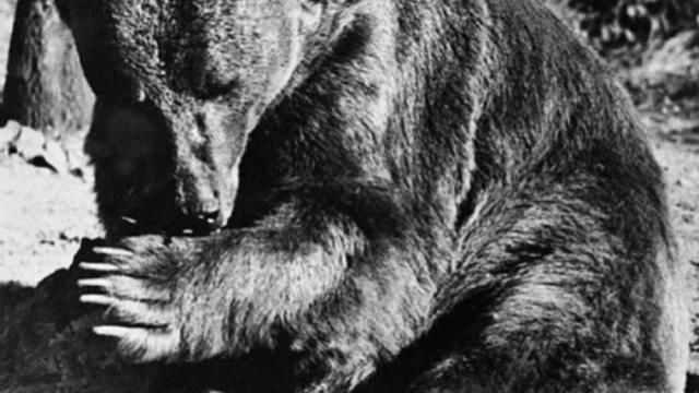Wojtek, l'orso soldato che fu arruolato per combattere a Montecassino