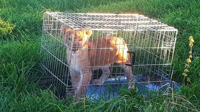Jogger finds lion cub abandoned in a cage outside a small Netherlands village