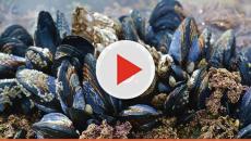 Allerta alimentare in Italia: cozze contaminate da salmonella