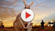 Australia: una famiglia è stata attaccata in casa da un canguro