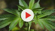 In Canada si potrà acquistare la cannabis anche per uso ricreatico