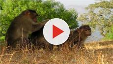 India: scimmie lapidando un 72enne con mattoni