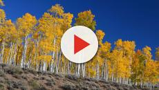 Utah's Pando aspen clone is facing extinction