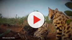 The most successful hunting cat isn't a lion, weighs in at less than four pounds