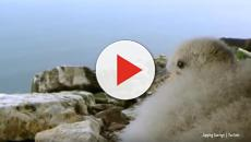 Fulmar Chicks: The baby seabird with a deathly predatory bird repellent