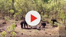Chimpanzees aggressive politics see ousted leader killed and cannibalized