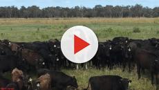 O tamanho do boi Calcinha acabou salvando-o da morte na Austrália