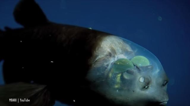 The weird Barreleye fish looks through the top of a transparent head