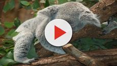 Los koalas son, por naturaleza, dormilones