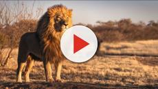 Lion Kills Worker After Escaping Its North Carolina Enclosure