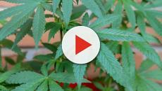 Cannabis: sarà legalizzata in altri tre stati americani, mentre in Italia è caos