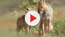 VÍDEO: PACMA realiza concentración en Galicia contra la caza del zorro