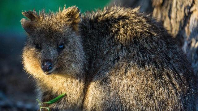 Quokka selfies are the new craze on Instagram