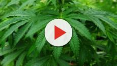 Cannabis: Lega e PD rispondono No alla proposta M5S per la legalizzazione