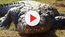 Crocodilo come cientista viva na Indonésia