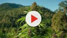 L'assunzione di un solo spinello con cannabis potrebbe modificare il cervello