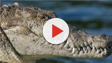 Indonesia, scienziata di 44 anni divorata viva da un alligatore