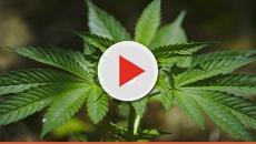 Adolescenti e marijuana: anche un uso sporadico può alterare il cervello