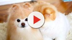 Boo the world's cutest dog has passed away at the age of 12