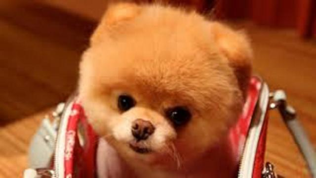 Boo, le chien le plus mignon du monde vient de nous quitter