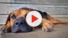 Allarme parvovirosi: virus intestinale sta uccidendo milioni di cani