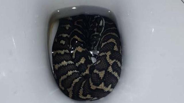 Mulher vai no banheiro e é picada por cobra escondido dentro do vaso