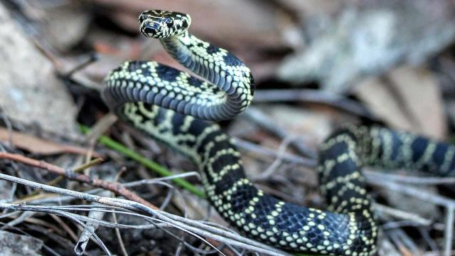 Brisbane woman bitten on behind by carpet python when using the loo