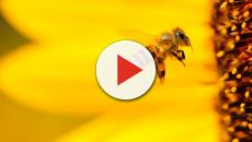 Estudo revela habilidades matemáticas das abelhas