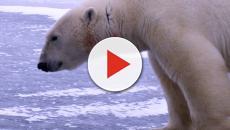 Russian islands declare emergency following polar bear 'invasion'