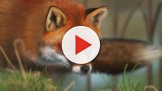 Descubren que los zorros son los mejores aliados contra la enfermedad de Lyme