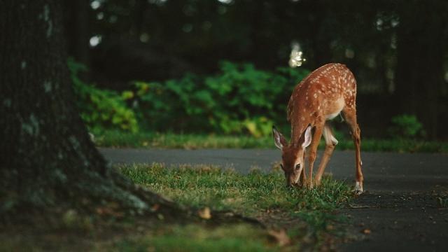 El virus zombie de los ciervos podría afectar a los humanos