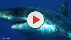 Great White Sharks: Hope for cancer as scientists learn more about their DNA