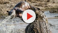 Crocodilo é conhecido por seus requintes de crueldade na África