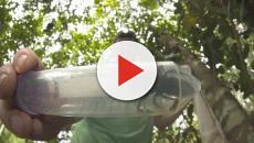 Pesquisadores encontram a maior abelha do mundo