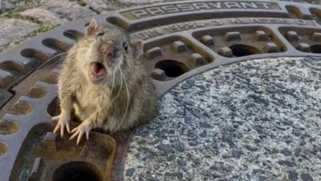 Animal rescue comes to the aid of a chubby rat stuck in a manhole cover in Germany