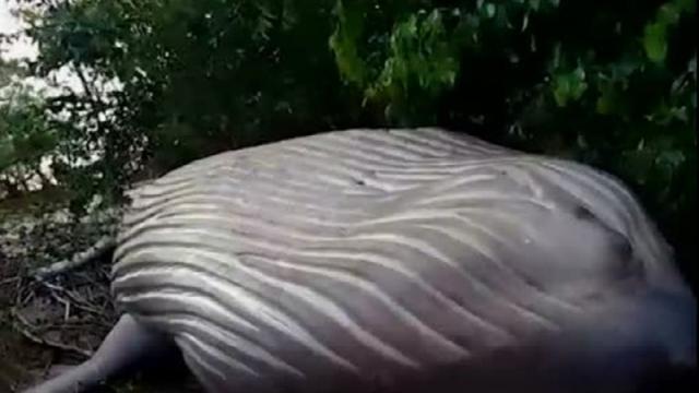 Il mistero della balena trovata morta sulla costa e non nella foresta amazzonica