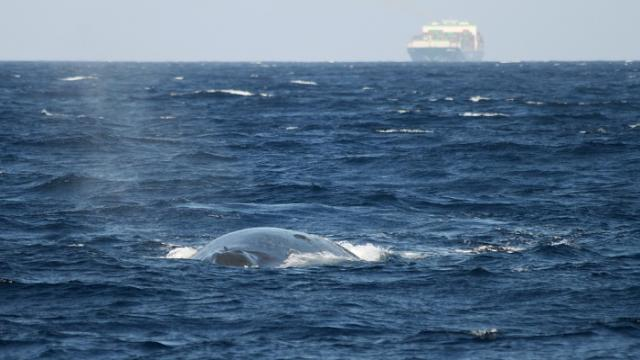 Alliance to save blue whales from ships stalled by Sri Lanka