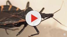 Cimice che passa la malattia di Chagas, la fake news: 'Vi morde vicino agli occhi'