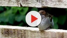 Los gorriones abandonan las ciudades a causa de la contaminación