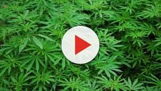 Lidl ha afianzado la venta de marihuana con fines medicinales en Suiza