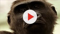 Indonesia, orango nella valigia: fermato un turista di nazionalità russa