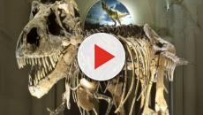 Il Tyrannosaurus Rex più grande del mondo si chiama Scotty