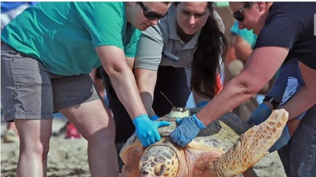 Beaching of warm-water turtles on Cape Cod could be linked to climate change