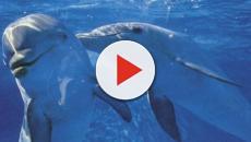 Sería posible que las hembras de los delfines tuviesen orgasmos
