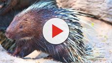 Porcupines helping deliver medical breakthrough