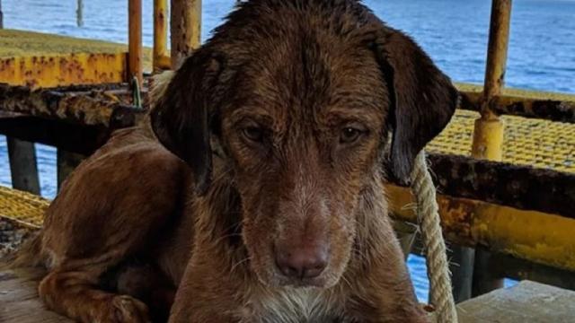Cachorro foi resgatado nadando a mais de 220 km da costa da Tailândia