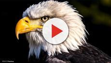 UK: Bald Eagles deployed to harass voracious seagulls on beaches