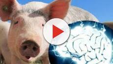 Científicos consiguen restaurar alguna funciones neuronales en cerdos muertos