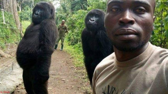 Gorilas posam para selfie com seus protetores, guardas florestais