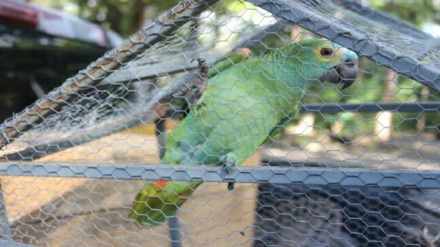 """Papagaio """"detido"""" em ponto de tráfico é encaminhado ao Zoobotânico"""